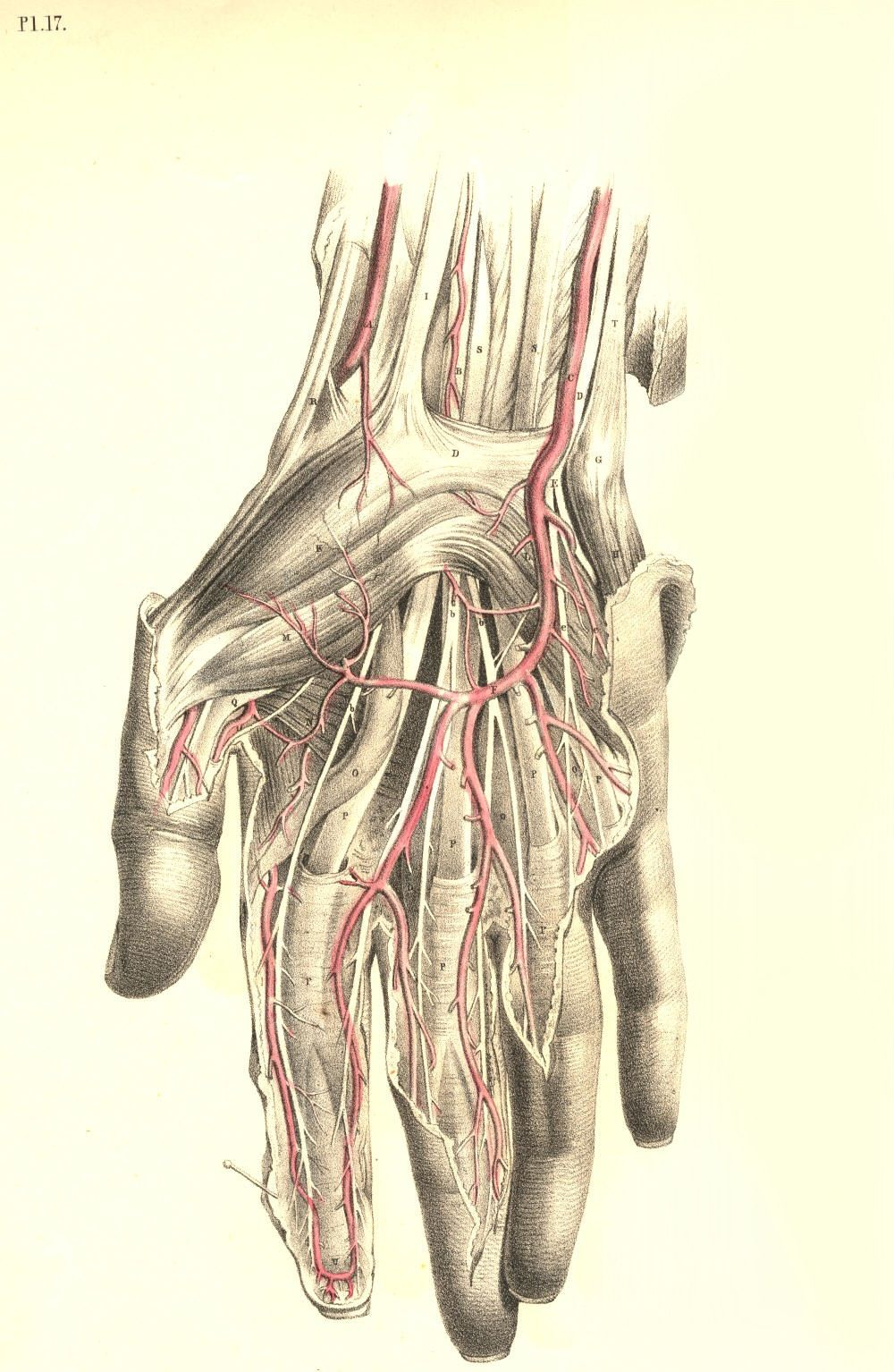 Plate 17: Surgical Dissection of the Wrist and Hand from Surgical ...