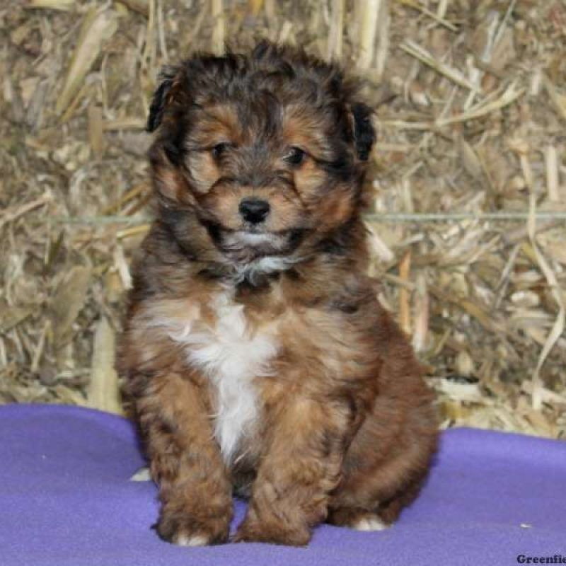 Sheltidoodle Puppies For Sale Puppies Shetland Sheepdog Puppies