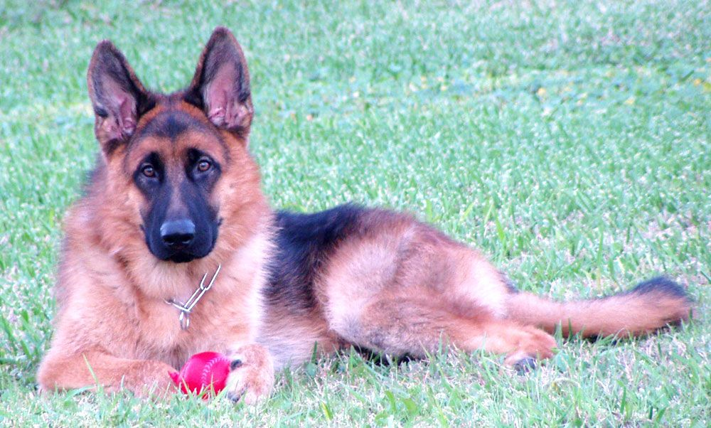 Have You Ever Meet A Friendly German Shepherd Dogs Here At Florida We Provide You German Sh German Shepherd