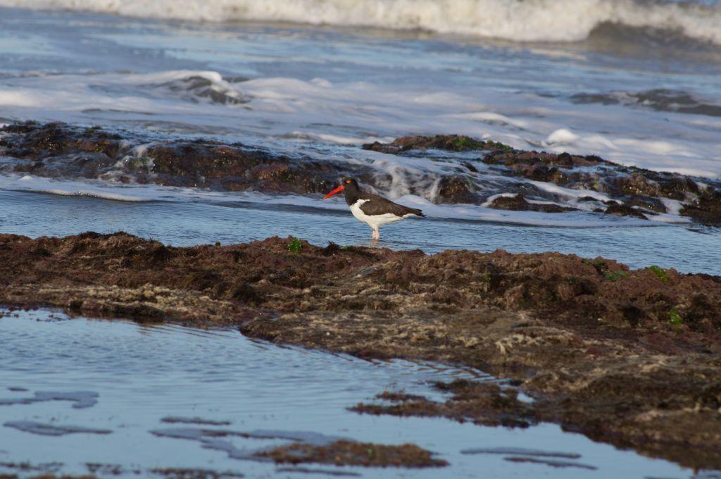 An American Oystercatcher bird at the rocks of a sea shore