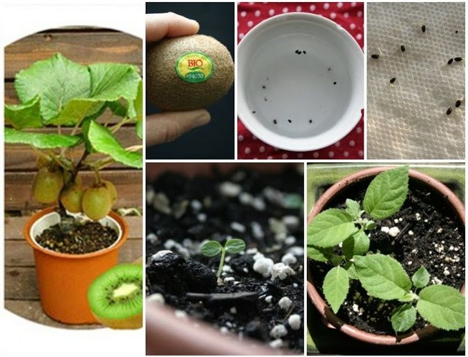 How To Grow A Kiwi Plant From Seed Grow Kiwi From Seed Kiwi Growing Kiwi Seeds