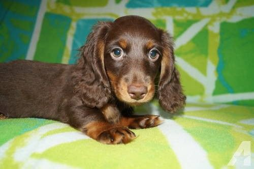99 Chocolate Dapple Long Haired Miniature Dachshund Puppies For
