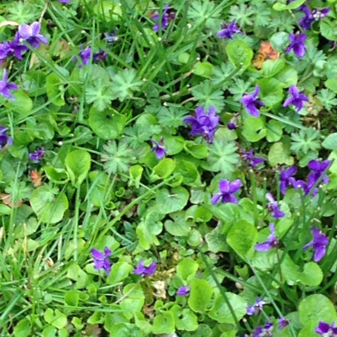 Small Purple Flowers In A Lawn Gardening Pinterest Small