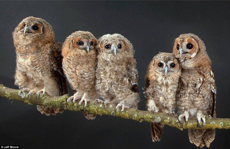 Baby Tawny Owls are enjoying life as a family in a a wildlife rescue centre in England. Photo: Jeff Moore. —