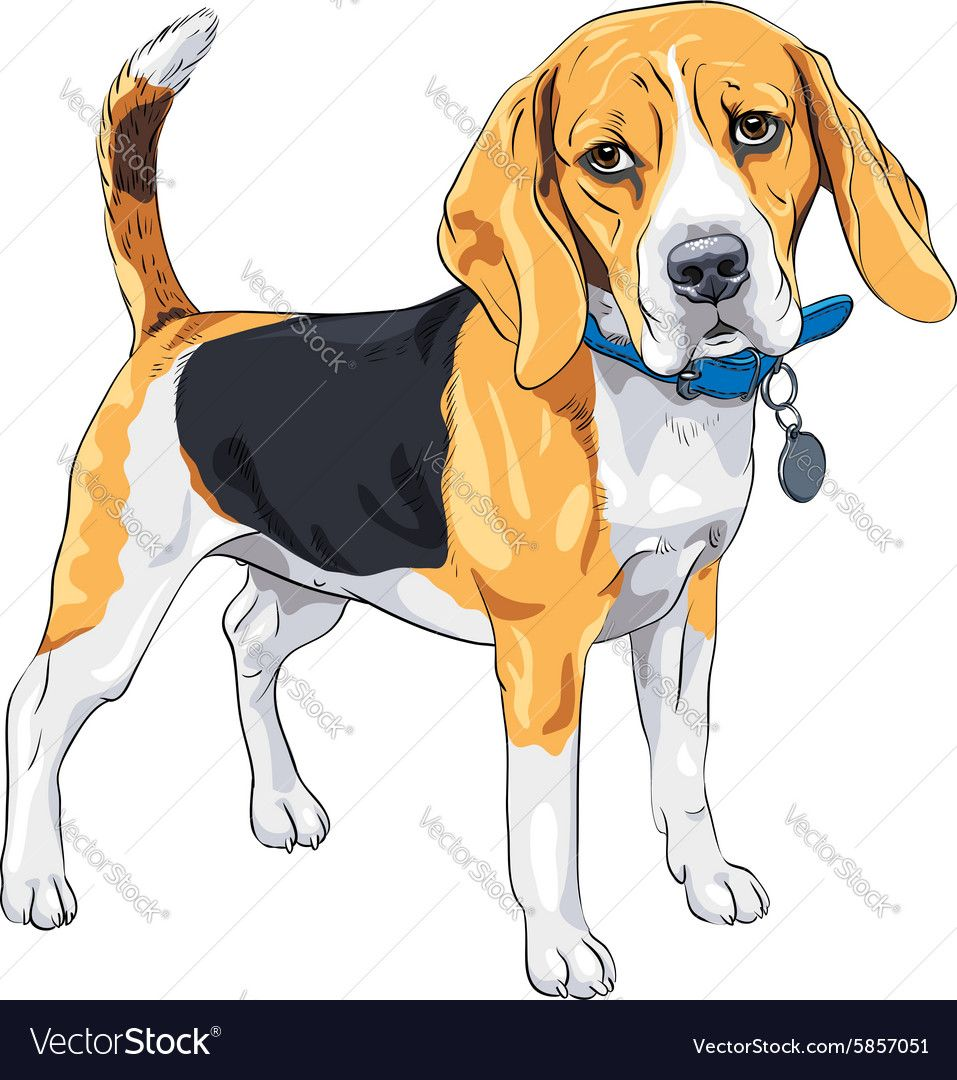 Vector Color Sketch Serious Dog Beagle Breed Standing With Blue