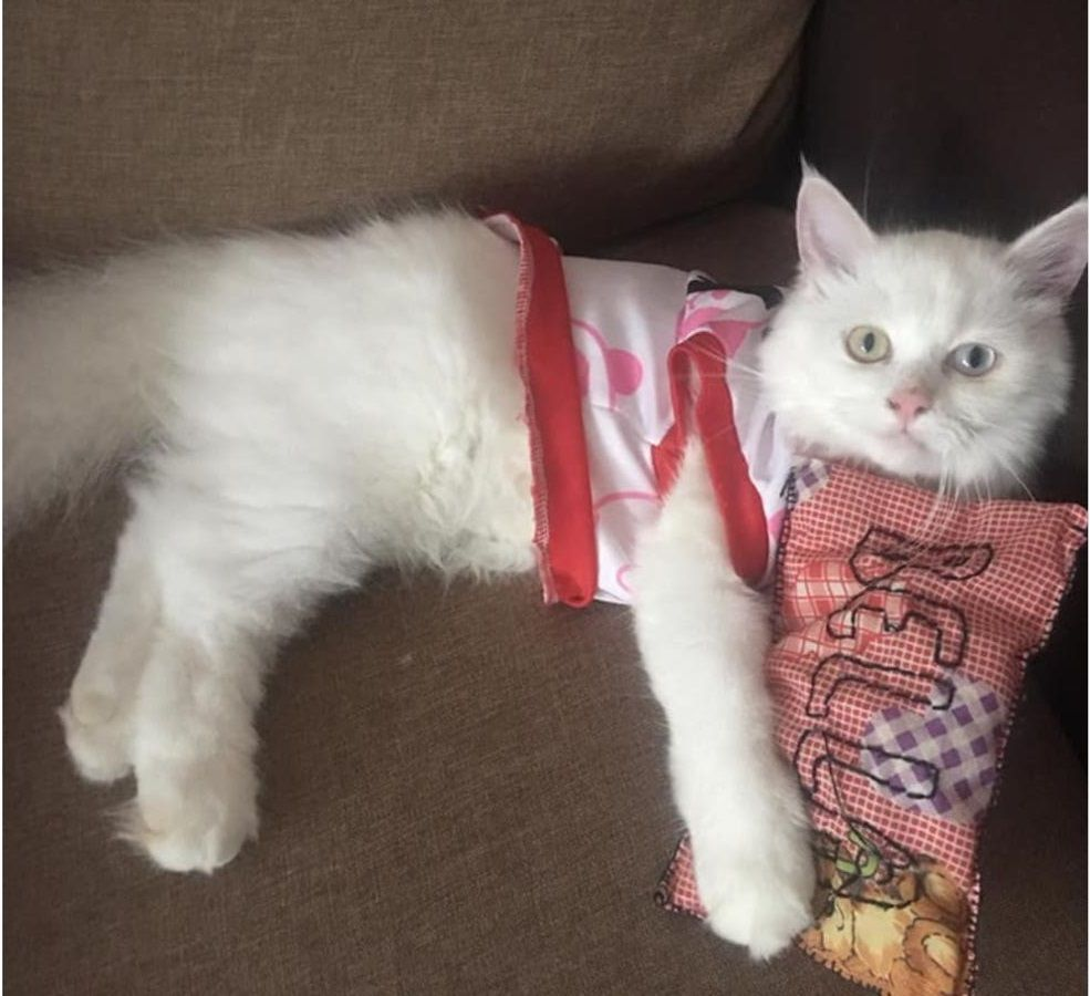 Have You Seen Yuki A Missing Cat Lost At Fernvale Link Cat Colors Cats Yuki