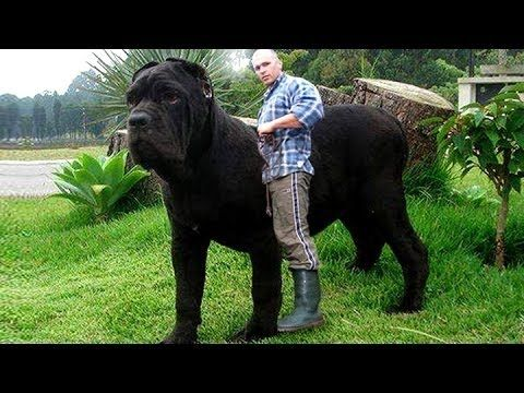 Biggest Dog In The World Guinness 2016 Top 10 Biggest Guard Dogs