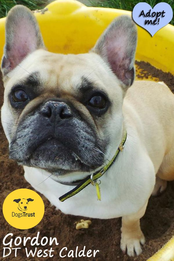 Gordon Is A 6 Year Old French Bulldog Gordon Is Very Unhappy