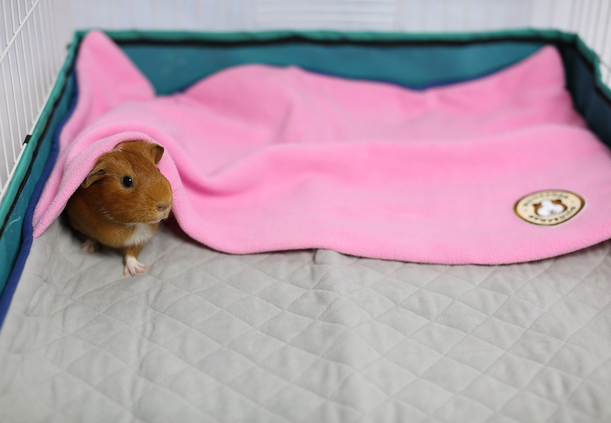 Pin On Guinea Piglets