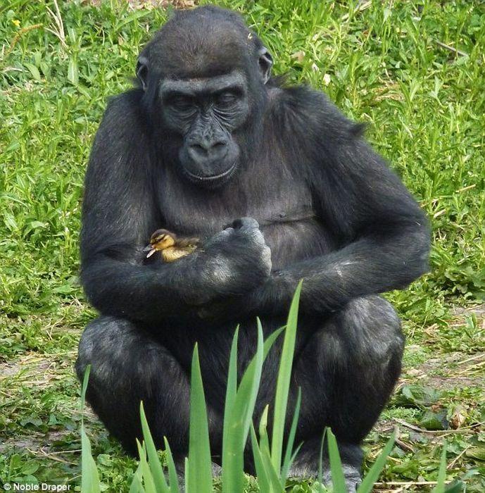 Gorilla gently cradling a duckling,  Amazing!