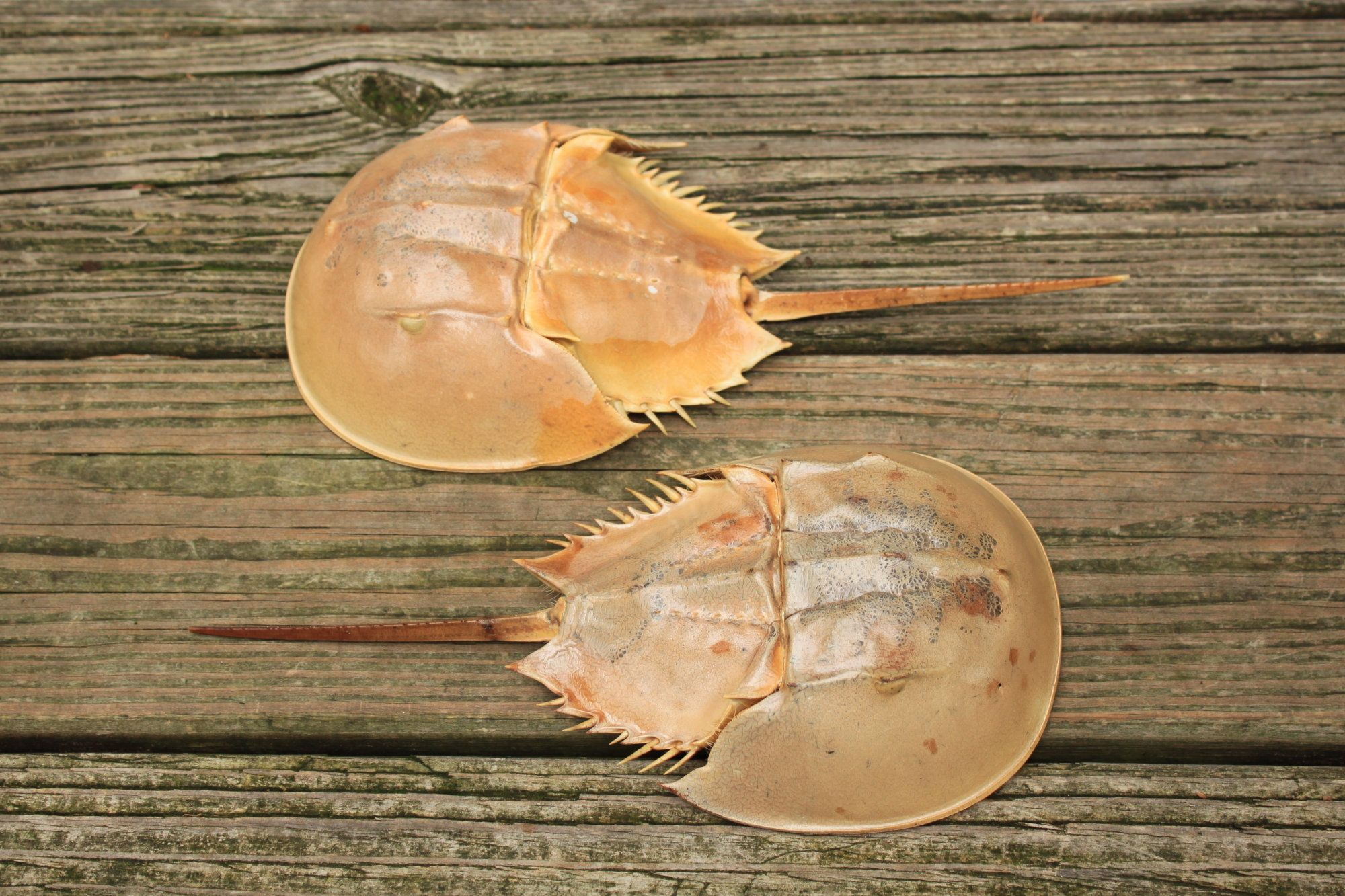 2 Small Horseshoe Crab Shells Etsy Shop Owner Etsy Shop Etsy Finds