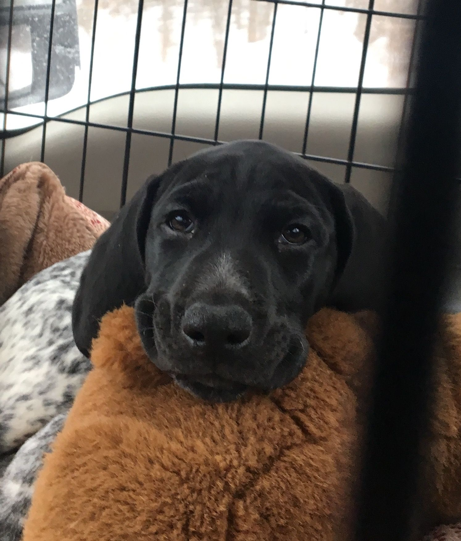 Cole german shorthaired pointer pup classic ohnot