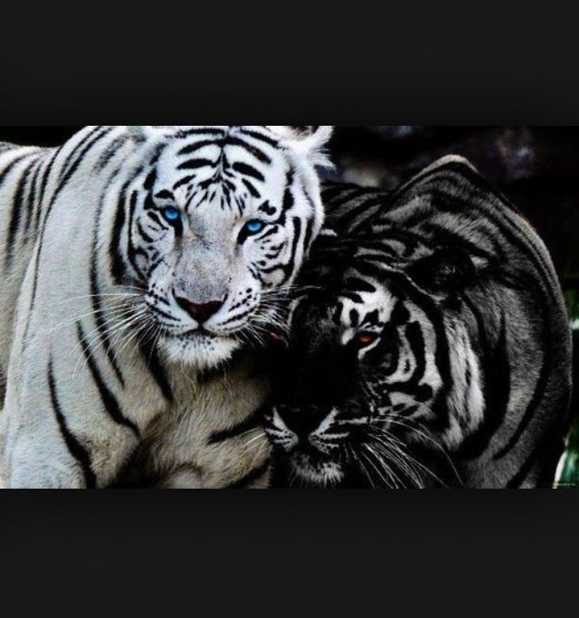 REN AND KISHAN!!!!!! Tigers curse!!!!! (With images