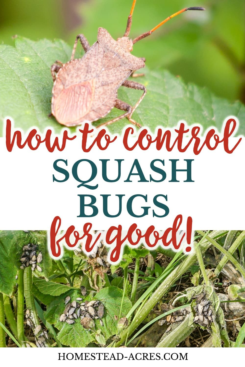 How To Get Rid Of Squash Bugs Squash Bugs Garden Pests Pest