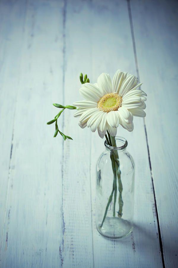 Svetlana Imagineisle Photograph White Gerbera Flower By Svetlana Imagineisle By Svetlana Imagineisle Daisy Wallpaper Gerbera Flower Aesthetic Wallpapers
