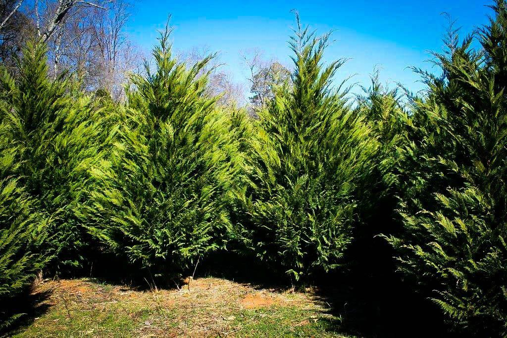 Examine This Vital Graphics As Well As Browse Through The Provided Information And Facts On Fro Fast Growing Pine Trees Leyland Cypress Fast Growing Evergreens