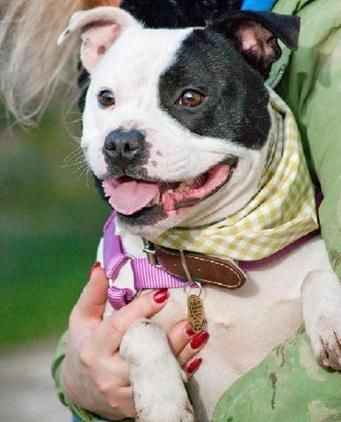 Meet Jolly Who Is A Staffie Dob 11 09 From Godstone Surrey