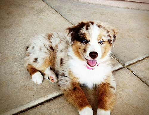 Absolutely Gorgeous Golden Aussie Mix Dogs Golden Retriever