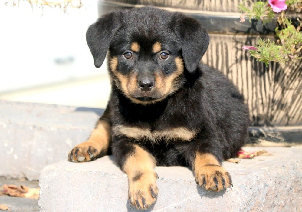 Lou Puppies, Miniature puppies, Puppies for sale
