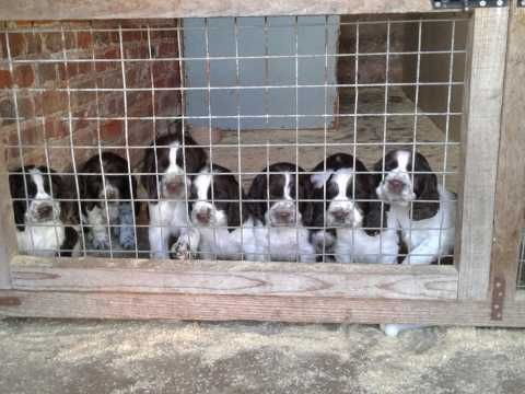 English Springer Puppies For Sale Doncaster, South