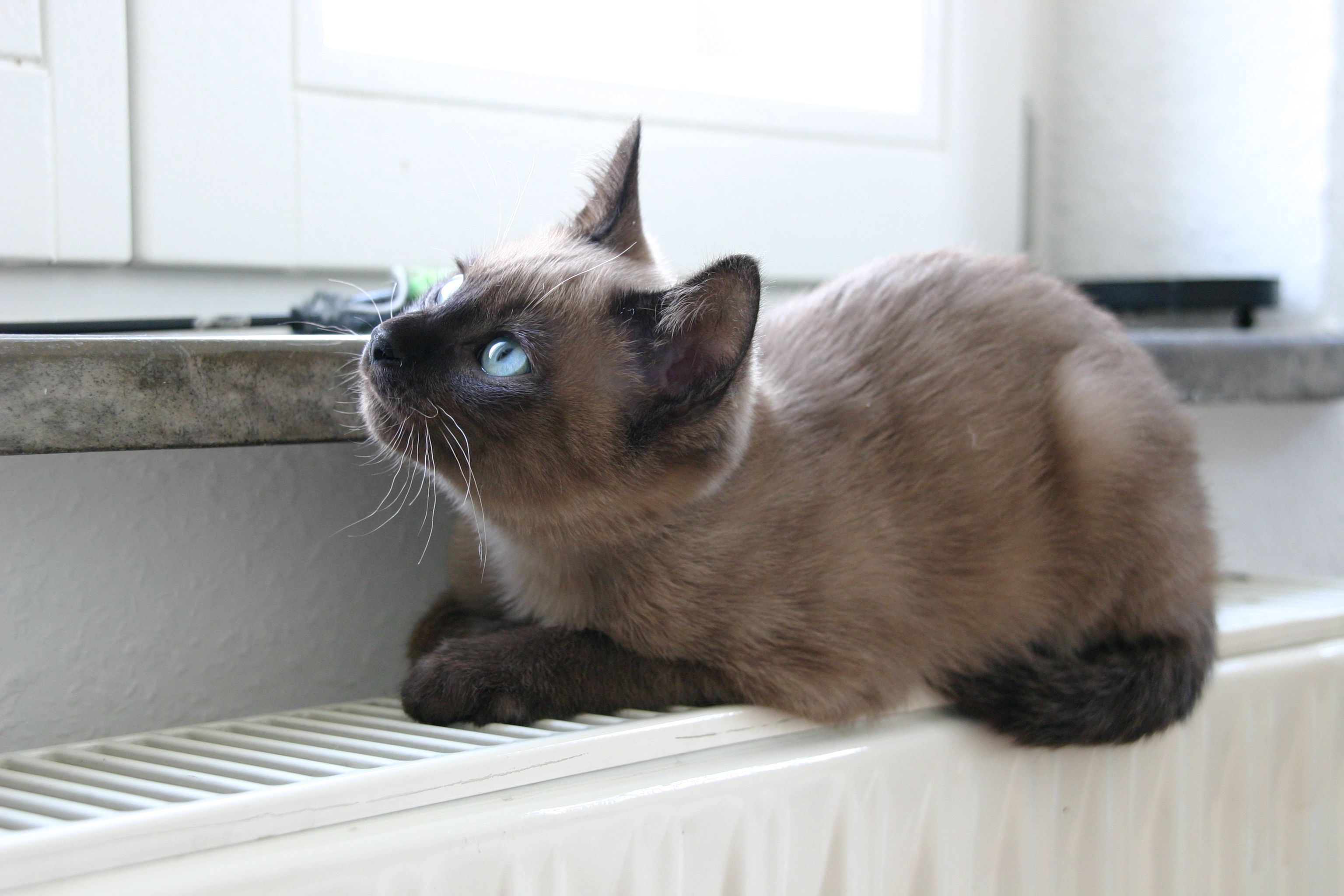 Young Tonkanese Cat Tonkinese Cat Gorgeous Cats Beautiful Cats