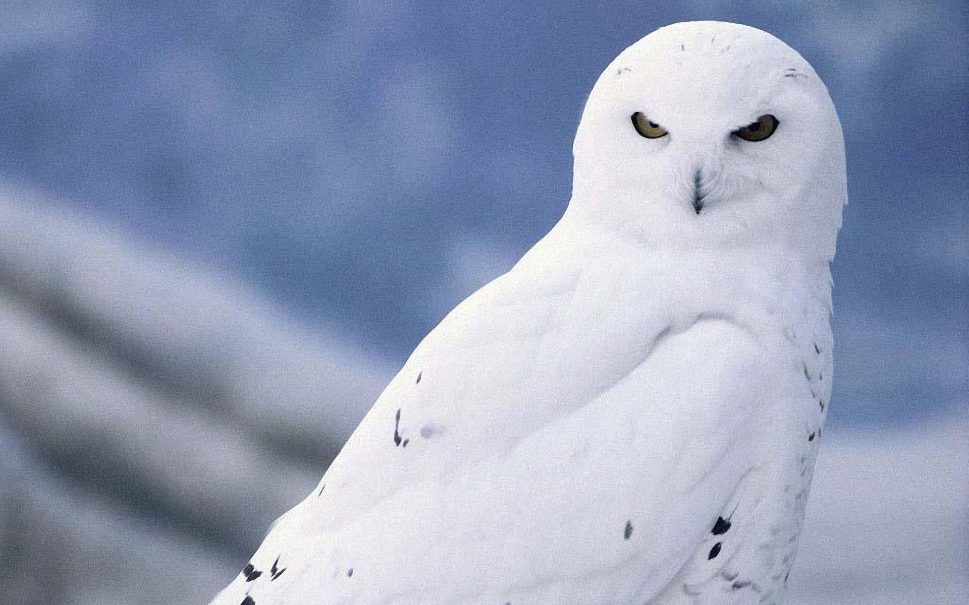 Windows 10 White Owl Wallpaper Owl Wallpaper Pet Birds Owl