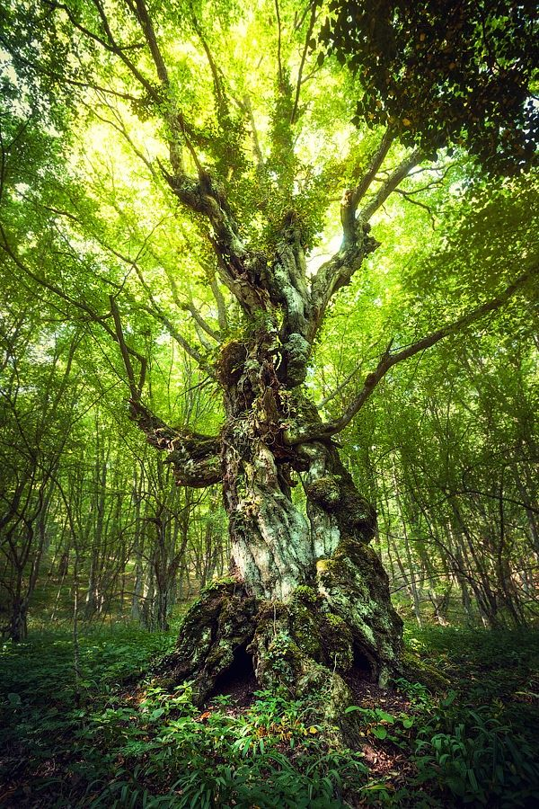 Photograph Magic Tree by Denis Belitsky on 500px ~ETS #tree #beautifulnature #fairytalewoods