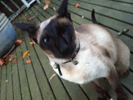 Gumtree Siamese Penrith Area Cambridge Park Nsw Australia Pembroke St 7th Of July Found Cat Animals Dogs