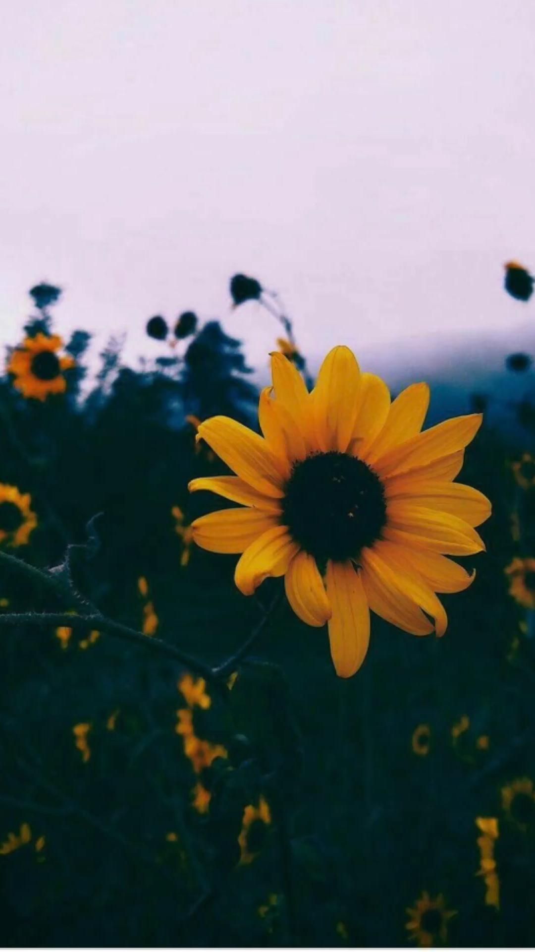 aesthetic sunflower pictures