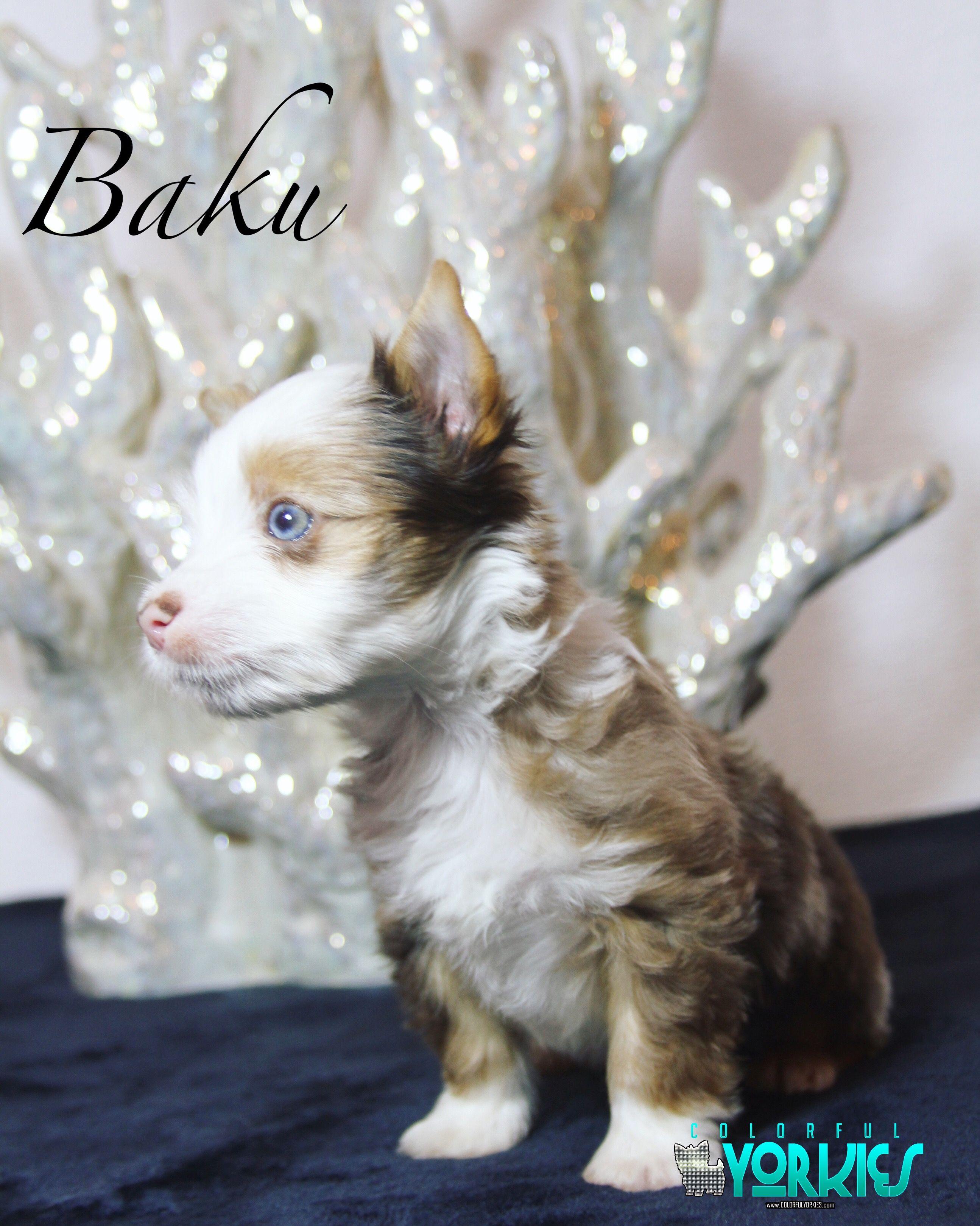 Baku Gorgeous Ocean Blue Diamond Chocolate Tweed Merle Yorkie Colorfulyorkies Com Yorkie Biewer Yorkie Beautiful Dogs