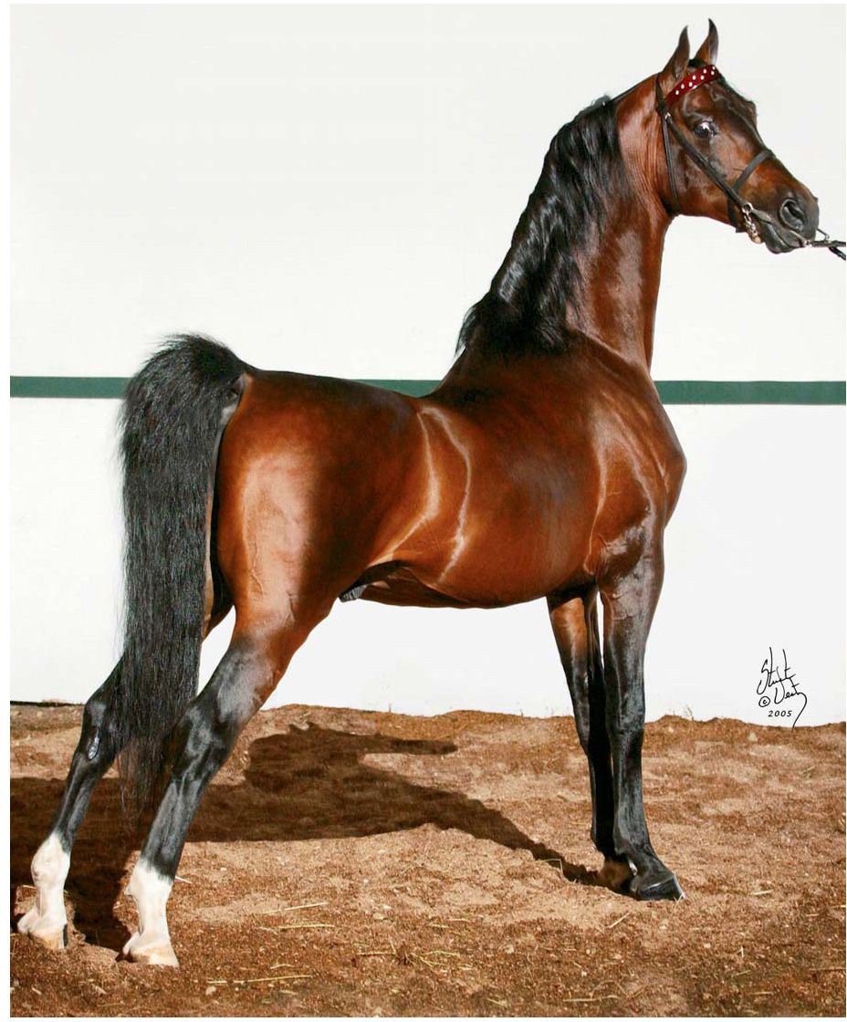 "American Saddlebred ""parked out"""
