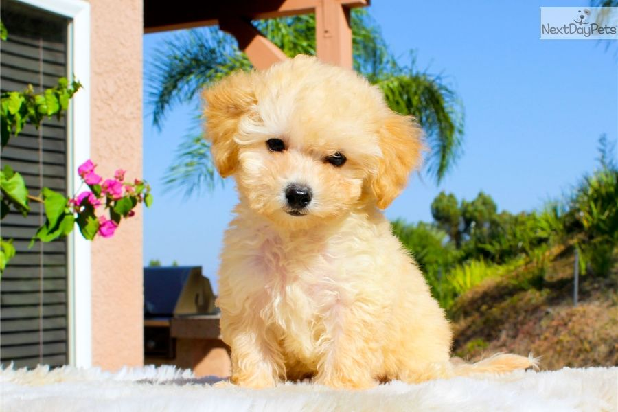 Malti Poo Maltipoo Puppy For Sale Near Los Angeles California