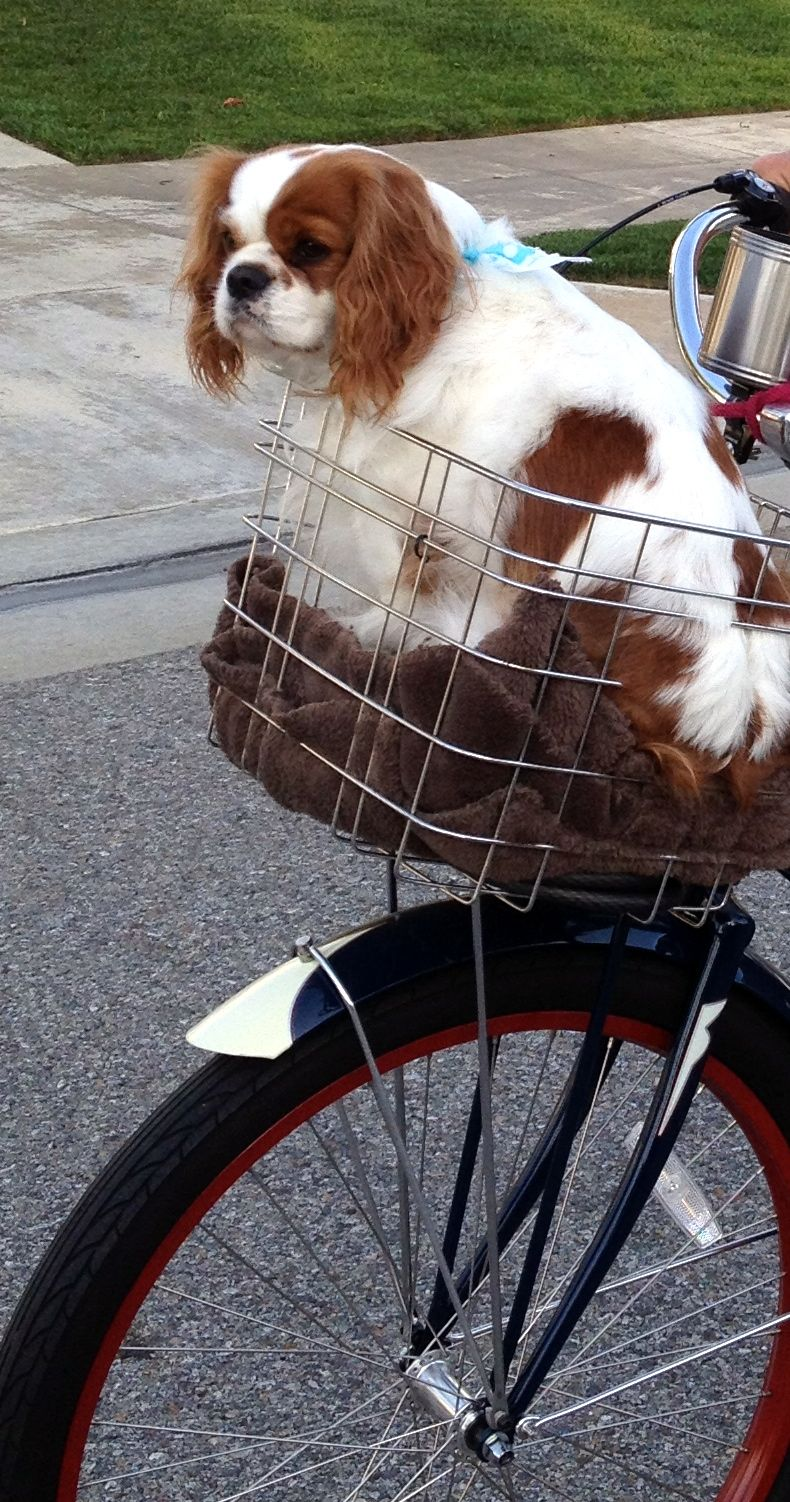 Our Boy Freddy Going For A Ride King Charles Cavalier King Charles Spaniel Cavalier King Charles