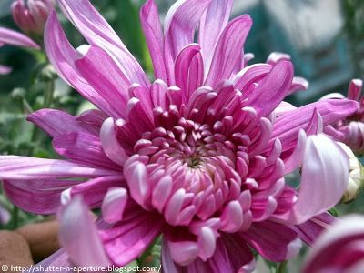 Pin By Anna Waltbrand On Flower Painting In 2020 Flower Beauty Chrysanthemum Flower Painting