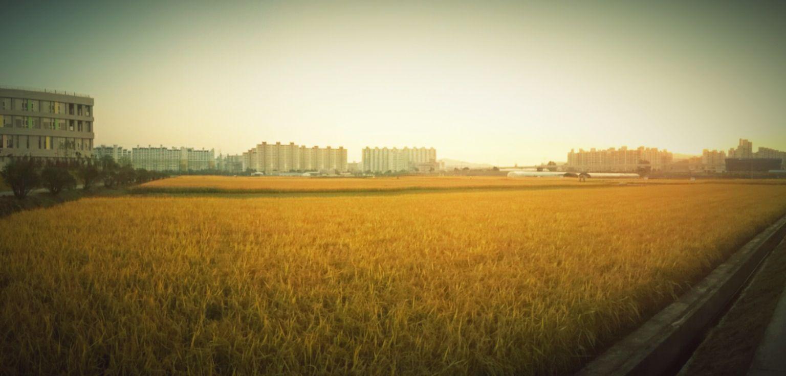 황금들녁.... 벌써 가을이 지나가는구나