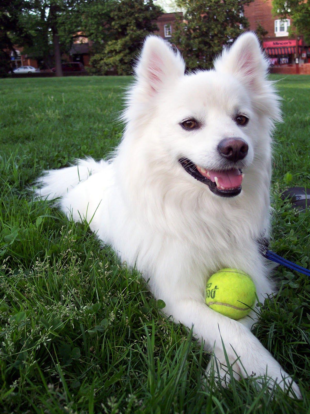 Best Cheap Dog Toys American Eskimo Dog Facts American Eskimo