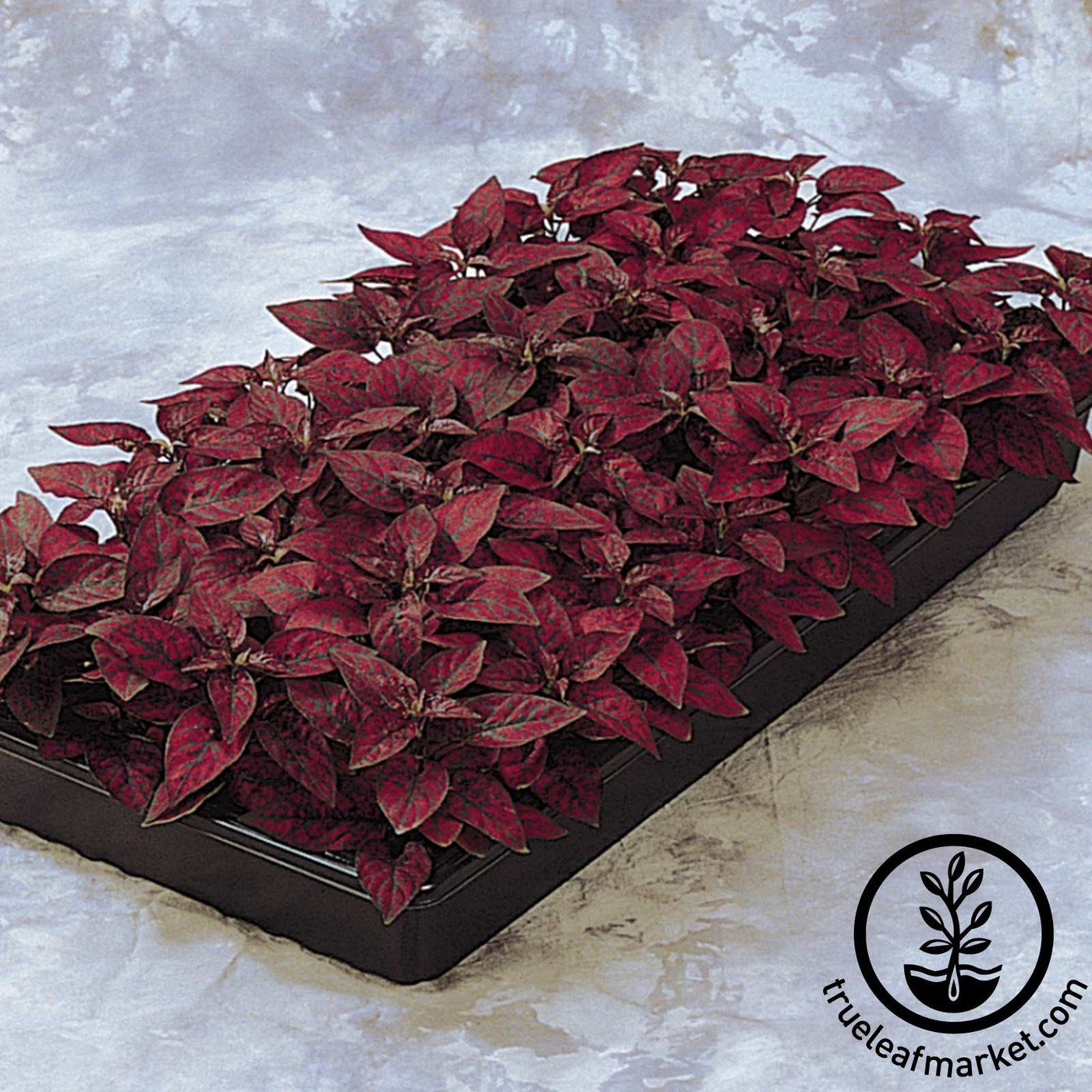 Discover The Splash Series Hypoestes Seed Among A Wide Selection Of