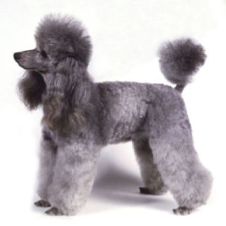 Pin On Silver Poodle