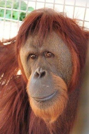 Orangutans At The Indianapolis Zoo Indianapolis Zoo State Parks Orangutan