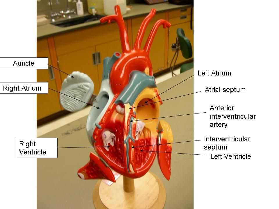 Labeled heart anatomy