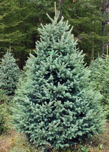 Choosing The Right Christmas Tree Types Of Christmas Trees Spruce Christmas Tree Christmas Tree Farm