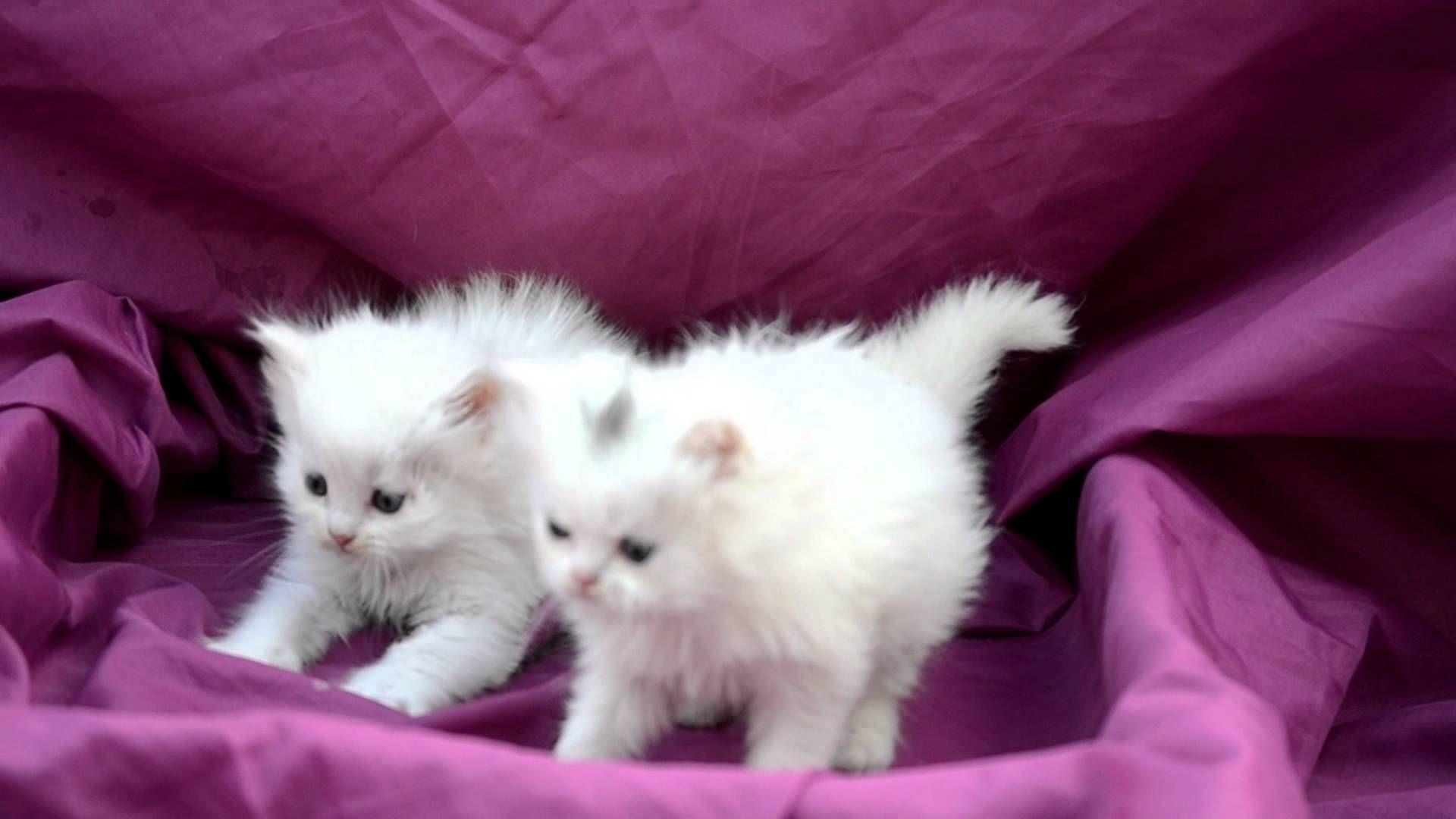 للبيع قطط صغيره بيكي فيس وهاف للبيع 33 يوم Bb 2b0e9577 قطط حسن Youtube Cute Cats Animals Cats