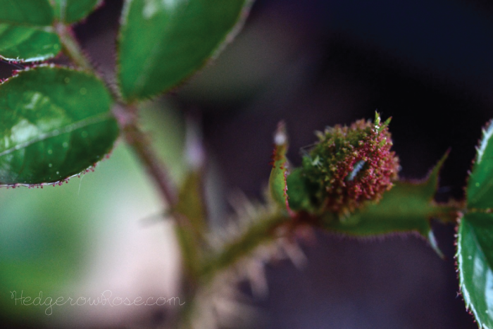 Moss rosebud... confession of love Rose buds, Language