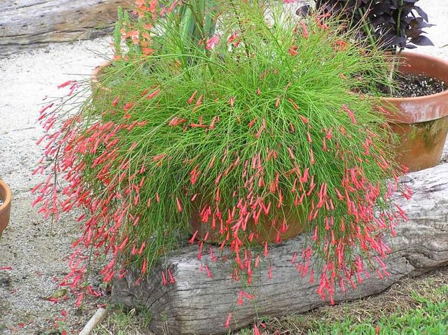 Russelia equisetiformis - Firecracker plant. Fabulous for hanging baskets and hummingbirds can't get enough of it.