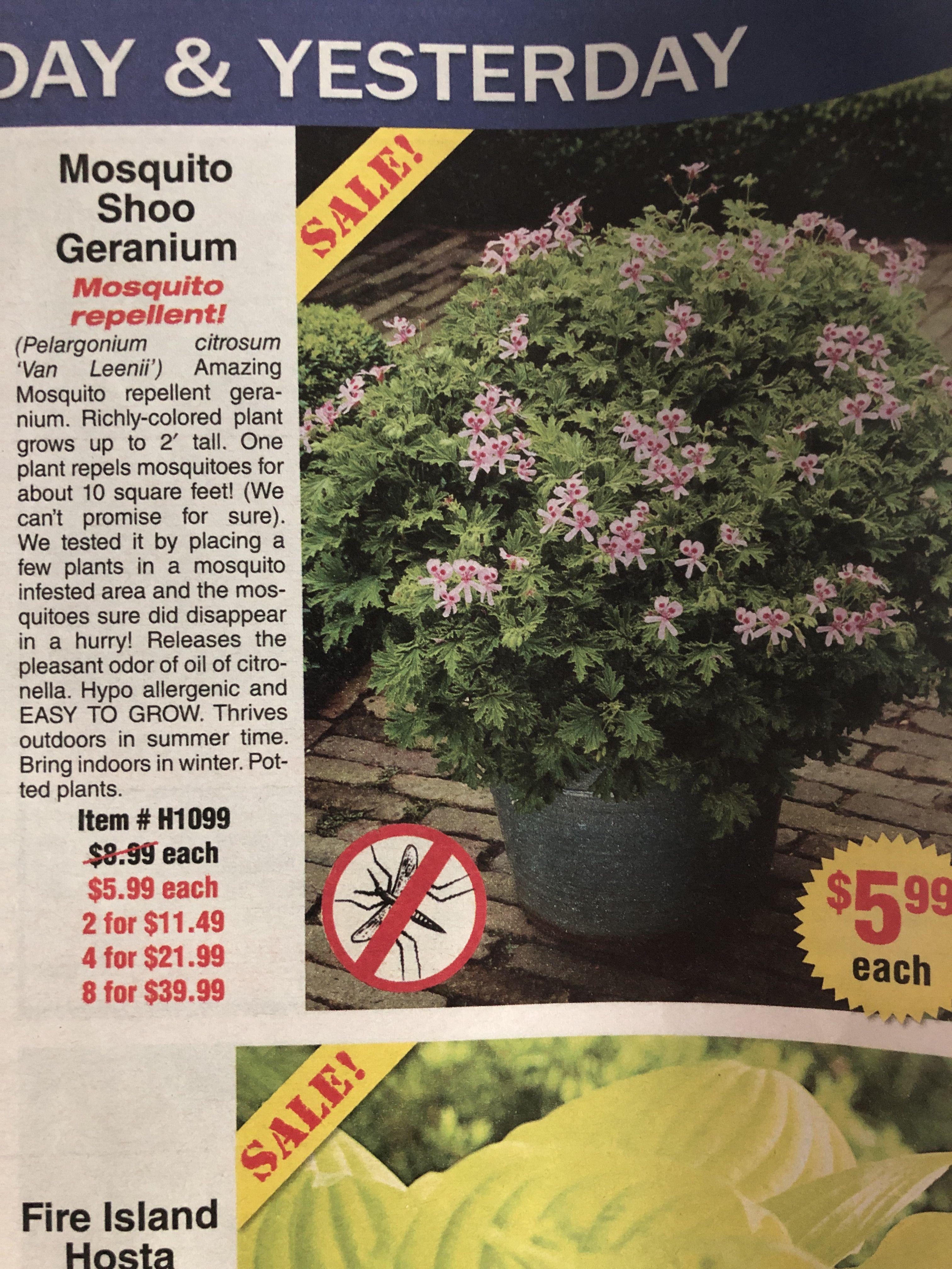 Mosquito Shoo Geranium Pelargonium Citrosum Geraniums Pelargonium