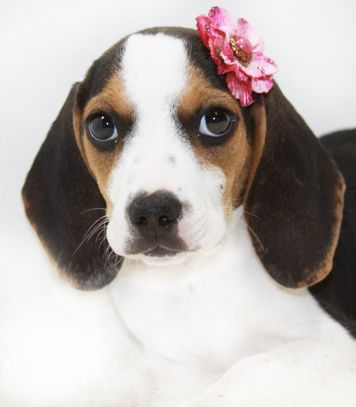 Pin By Kit Kat On Dogs Pocket Beagle Beagle Cutest Dog Ever