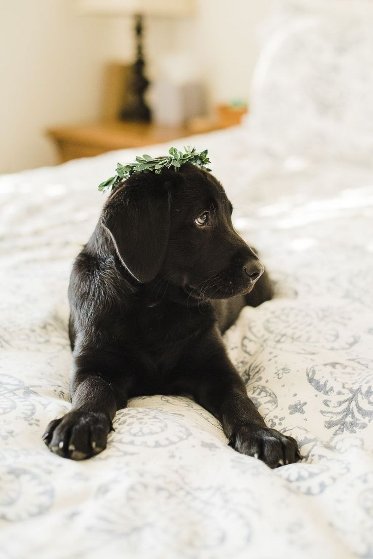 Adorable Black Lab Puppy Wearing A Greenery Crown Too Cute Labrador Retriever Black Lab Puppies Puppy Photos