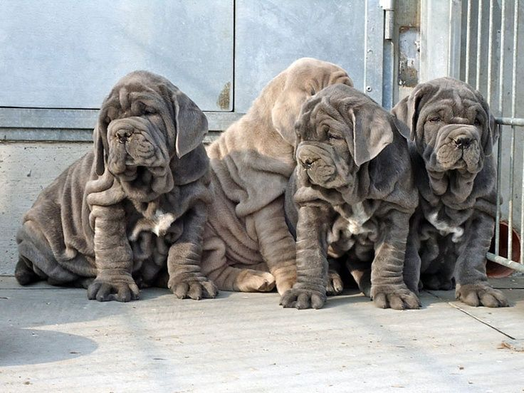 Neopolitan Mastiff Mastiff puppies, Mastiffs