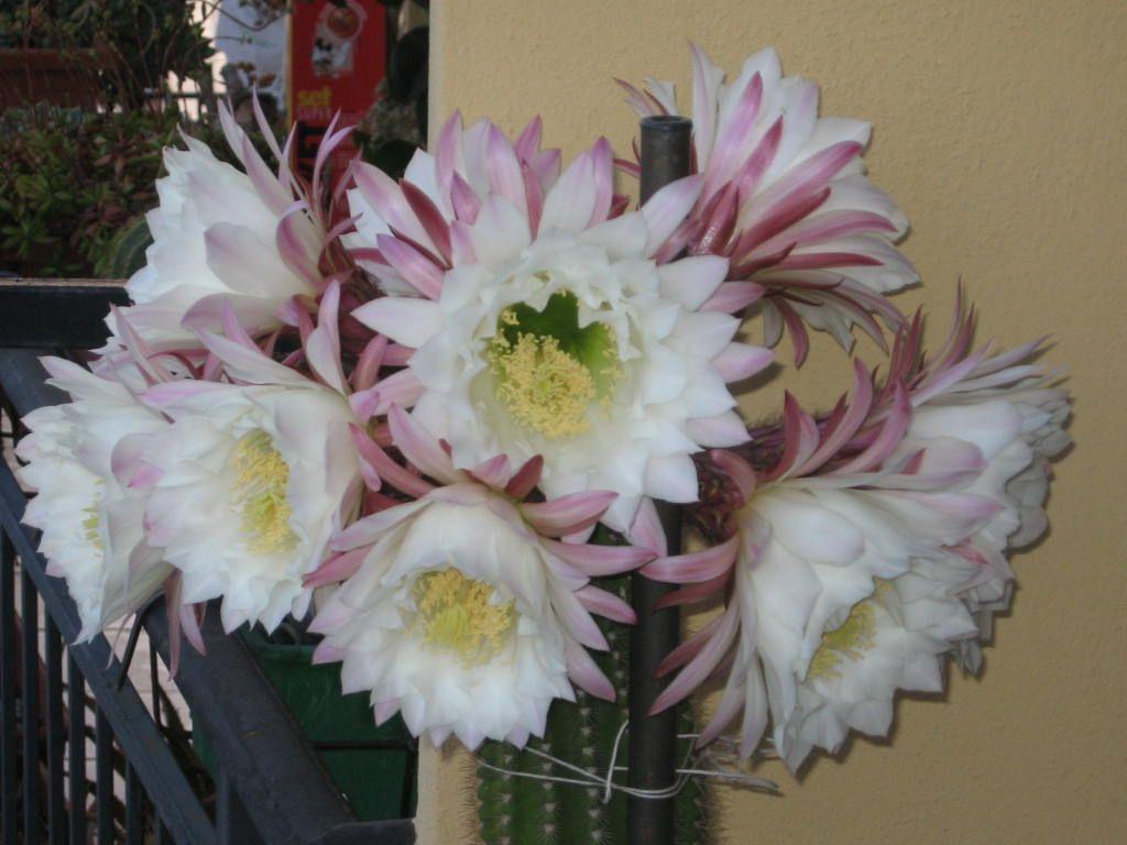 fioritura 2006