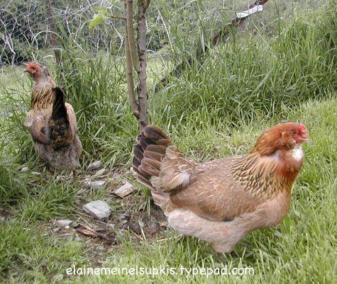 Chilean chickens